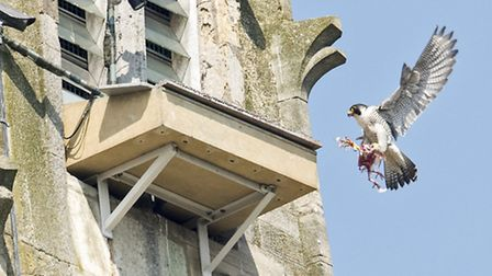 The peregrines should be returning to Norwich Cathedral in May. Picture: Steve Plume.