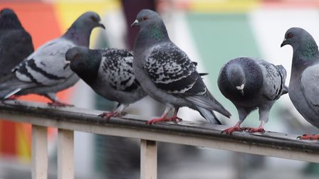 'Acculumlated' fouling by pigeons is causing problems at City Hall. Picture: DENISE BRADLEY