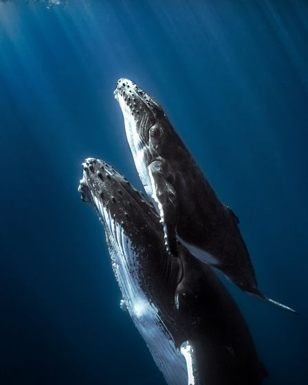 Calf humpback whale with mom seen in Whale Chasers about a whale count in New Zealand. Photo: Getty