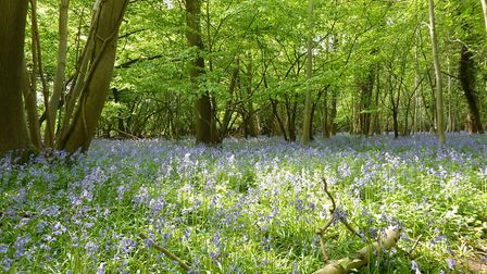 Bluebells in Ashwelthorpe Wood. Picture: Anne Edwards