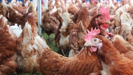 Fresh Start For Hens is a charity organisation that helps rehome chickens which have reached the end