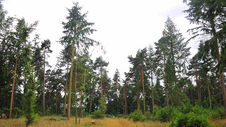 Thorpe Woods which are under threat from housing development.PHOTO BY SIMON FINLAY
