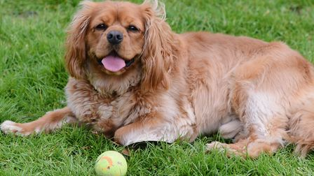 Bruce the King Charles Spaniel takes a break after chasing his ball in Chapelfield Gardens. Picture: