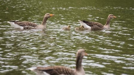 Geese enjoying the fine wether on the water at Wensum Park, Norwich.Picture: Nick Butcher