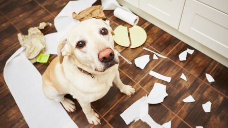 A naughty dog sitting in the middle of a mess in the kitchen. Picture: Getty Images/iStockphoto
