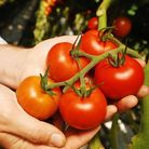 Wisdom is knowing not to put a tomato in a fruit salad, says Marianne Gibbs PHOTO: IAN BURT