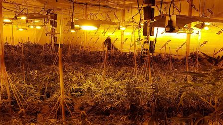Cannabis plants seized from a factory on Lansdowne Road. Picture: Norfolk Police