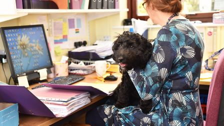 Hugo the Cockerpoo is the newest member of the class at Old Buckenham Primary School.Hugo helps out