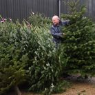 Karl Knight, assistant farm manager, sorts through the Nordmann Fir Christmas trees laid out ready f