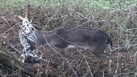 A deer stuck in a fence at Horsham St Faith on Christmas Day. Photo: RSPCA
