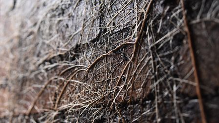 Plant roots on the entrance wall inside the World War Two air raid shelter. Picture: DENISE BRADLEY