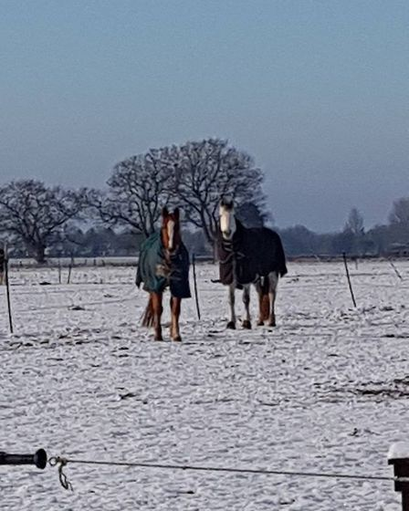 Horses in the snow, just outside Attleborough, on 30 January 2019. Photo: Michaela Canham