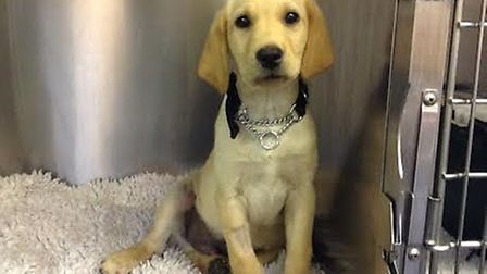Snowy the labrador puppy was saved by Taverham Vets after swallowing a stick almost as big as him an
