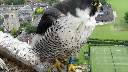A peregrine falcon nesting at Norwich Cathedral laid her first egg of the year on March15. The femal