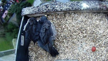A peregrine falcon nesting at Norwich Cathedral laid her first egg of the year on March15. Picture: