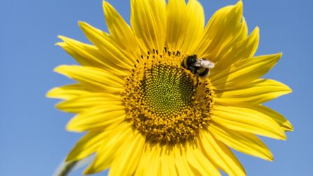 Broadland District Council is giving out free sunflower seeds to boost bees. Pic: Getty Images/iStoc