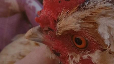 One of the chickens from the Swaffham allotment, after it was stolen and mutilated. Picture: STEPHEN