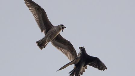Wildlife photographer Chris Skipper has been taking pictures of peregrines at Norwich Cathedral sinc
