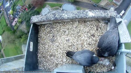 Peregrine chicks nesting at Norwich Cathedral. Picture: Hawk and Owl Trust