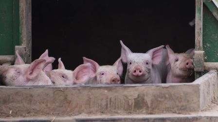 Wayland Farms has been giving the go ahead to more than triple the size of its pig farm . Picture: D
