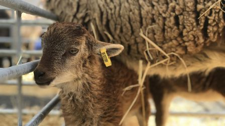 A young lamb stayed close to its mother during the Swaffham Sheep Fair 2019. Picture: Neil Didsbury