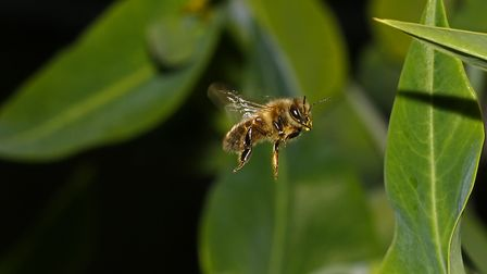 A honey bee in a garden. Picture: Neville Yardy