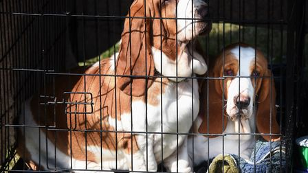 Ready for showtime at the Old Buckenham dog show celebrating its 50th anniversary. Picture: DENISE B