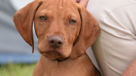 A Hungarian vizsla puppy at the Old Buckenham dog show celebrating its 50th anniversary. Picture: DE