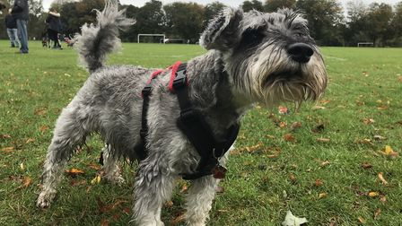Dozens of schnauzers and their owners gathered at Eaton Park for Schnauzerfest 2019. Picture: Lauren
