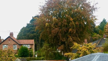 The century-old beech tree in Paxton Place, Norwich. Picture: Kate Weaver