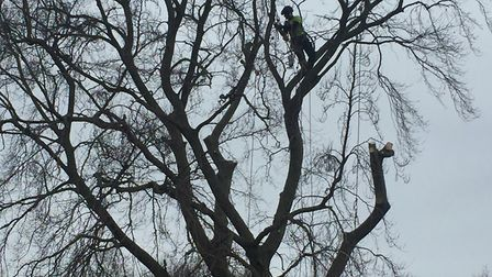 A tree surgeon begins work on a 120-year-old beech tree in Paxton Place. Picture: Kate Weaver