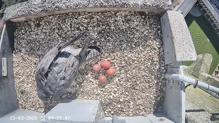 A peregrine falcon nesting on the spire of Norwich Cathedral has hatched three chicks, with a fourth