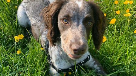 Reginald the six-month-old Cocker spaniel was attacked by another dog at the UEA lake. Photo: Kirsty