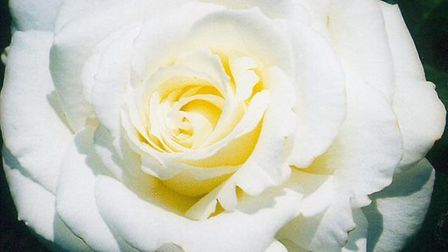 A white memorial rose was stolen from Derek Melton's Catton garden Photo: Archant arcive