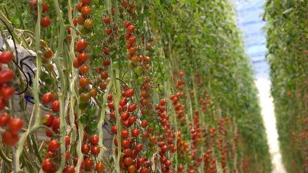 Two vast greenhouses are being built in Norfolk and Suffolk, capable of increasing British tomato pr
