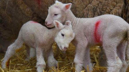 Five-day-old twin lambs born at Wroxham Barns earlier this year Picture: Denise Bradley