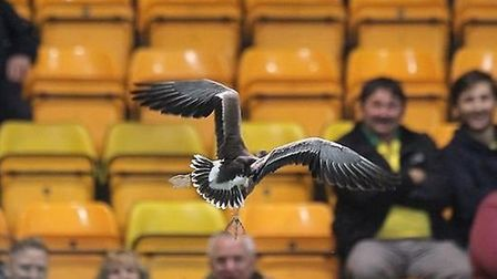 A loose goose provided an unusual distraction as Norwich City took in Swindon in the League Cup at C