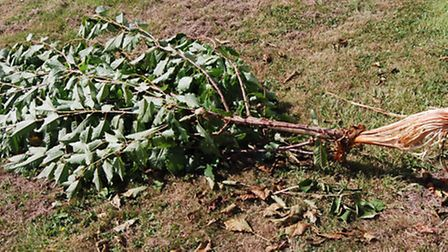 Further damage in Acle to property and gardens including this sapling destroyed planted by residents