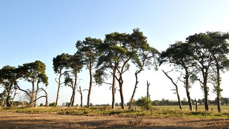 East Wretham Heath, near Thetford, is home to some rare plant species. Picture: Sonya Duncan