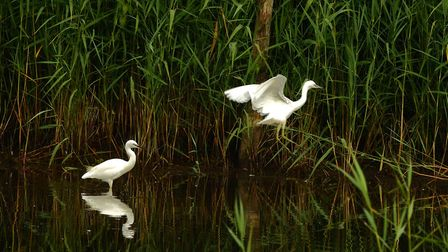 Egrets in abundance on the marshes. Picture: Citizenside.com