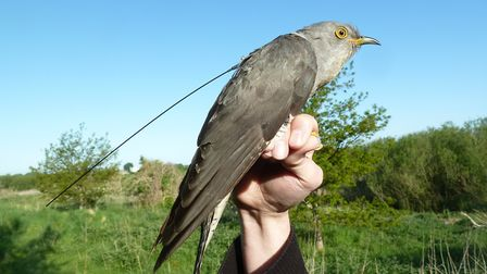 A Broads cuckoo with a satellite tracking tag attached. Picture: Courtesy Andrea Kelly