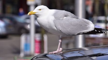 The seagull's wing was hanging off after the attack PHOTO: Nick Butcher