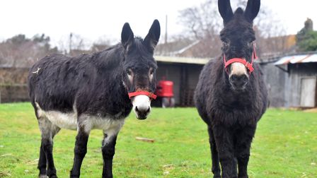 Trevor Austin and Kara Barber's three donkeys have been put on a strict post-Christmas diet after be