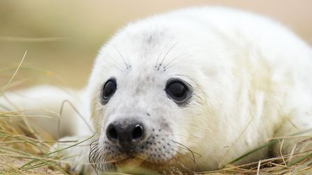 Visiting the seals is a popular Norfolk winter pastime. Here a baby seal pup at Horsey.Picture: Jame