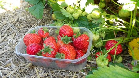 Maiden plants and weeks of unbroken sunshine have made for a bumper harvest of large, sweet fruit at