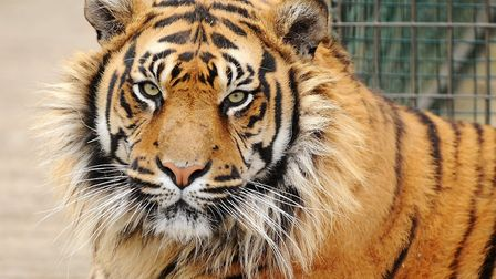 Thrigby Hall Wildlife Gardens is known for its tigers. The attraction says it was preparing for a Ju