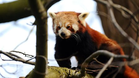 The red panda is familiar to regular visitors at Thrigby Hall Wildlife Gardens which hopes to reopen
