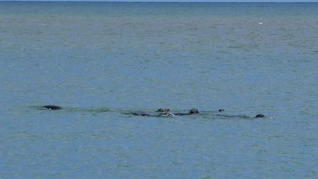 Daring Douglas the dog joined a group of seals off the coast at Winterton for fun and frolics, and v