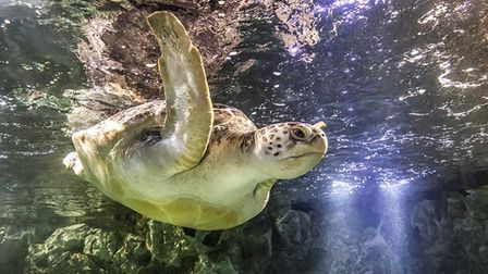 Noah the green sea turtle at Great Yarmouth Sea Life Centre. Picture: Zac Macaulay