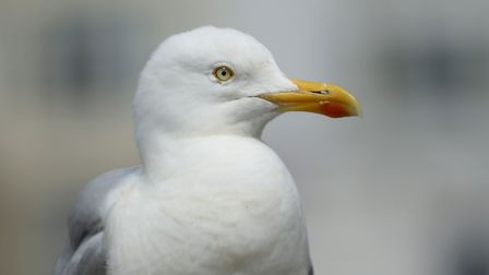 People in Great Yarmouth who feed seagulls could face fines. Photo: Chris Radburn/PA Wire
